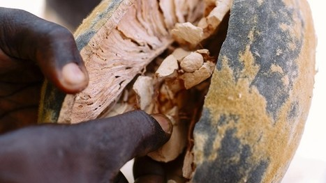 Baobab and Moringa, Two 'Superfoods' With the Potential of Boosting the Planet's Health · Global Voices   INTRODUCTION TO THE SOCIAL SCIENCES DIGITAL TEXTBOOK(PSYCHOLOGY-ECONOMICS-SOCIOLOGY):MIKE BUSARELLO   Scoop.it