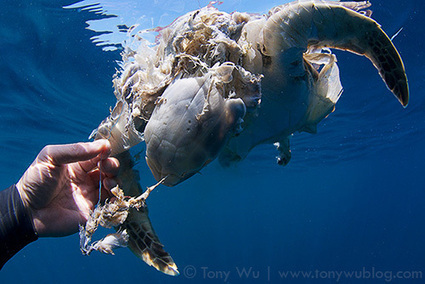 Green Turtle. Dead. | Coral Conservation | Scoop.it