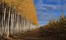 Sustainable Poplar Plantation Provides Biofuels Biomass | World Biomass Power Markets | Scoop.it
