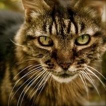 Comment votre chat voit-il le monde ? | CaniCatNews-actualité | Scoop.it