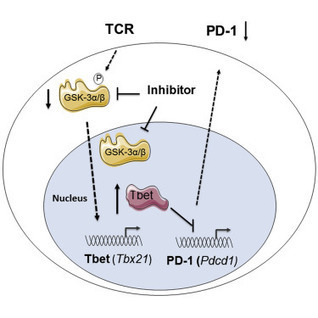 Glycogen Synthase Kinase 3 Inactivation Drives T-bet-Mediated Downregulation of Co-receptor PD-1 to Enhance CD8+ Cytolytic T Cell Responses: Immunity | elharbaoui | Scoop.it