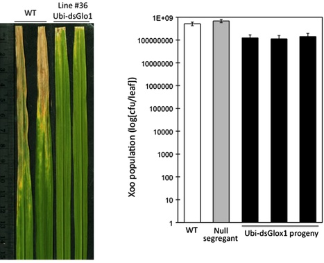 Peer J: Reduced expression of glycolate oxidase leads to enhanced disease resistance in rice (2013) | Plant defense mechanism | Scoop.it
