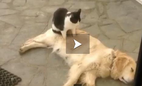 Votre chien est tendu ? Appelez votre chat à la rescousse pour un massage gratuit ! | CaniCatNews-actualité | Scoop.it