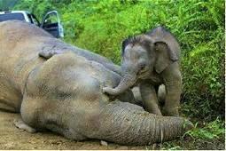 Pregnant elephant dies in Nagarahole forest area | Pachyderm Magazine | Scoop.it