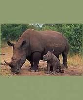 Wildlife tourism The plight of the African rhino | Rhino poaching | Scoop.it