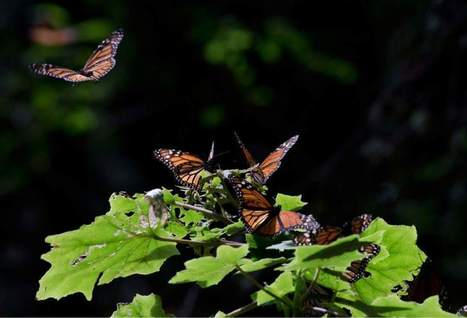Monsanto donates $4M to save butterflies | Sustain Our Earth | Scoop.it