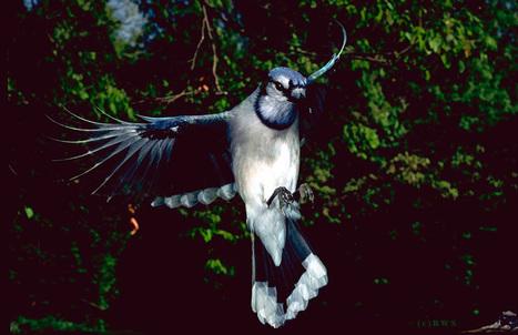 Blue Jays FACTS | Blue Jays | Scoop.it