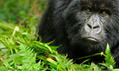 Congo's rare mountain gorillas could become victims of oil exploration | Helping Wildlife Conservation Through Art | Scoop.it