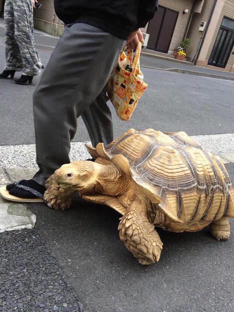Man Takes His Giant Pet Tortoise out for a Stroll through the Streets of Tokyo | Le It e Amo ✪ | Scoop.it