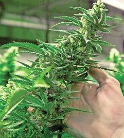 EU: pide mayoría legalizar cannabis - El Universal | thc barcelona | Scoop.it