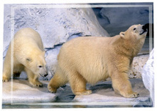 POLAR BEARS - Conservation & Research | Conservation | Scoop.it