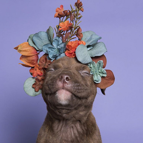 'Pit Bull Flower Power' Already Found Homes For 140+ Pits (New Pics) | Victoria Florist | Scoop.it