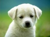 dogs for sale high quality puppies at Companion Pets - BlurbIndia | Free Classifieds Ads in India | Scoop.it