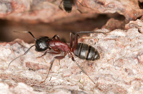 Lonely Ants Die Young and Hungry | All About Ants | Scoop.it