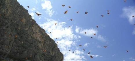 Mariposas monarca cambiaron su ruta por huracán | Bichos en Clase | Scoop.it