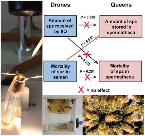 INRA - Déclin des abeilles : l'exposition des mâles à un pesticide affecte indirectement la capacité de reproduction des reines | EntomoNews | Scoop.it