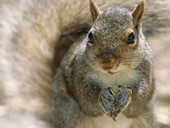 Squirrel Birth Control: To Stop Invasion, Science Gets Seedy | Pest & Rodent Control | Scoop.it
