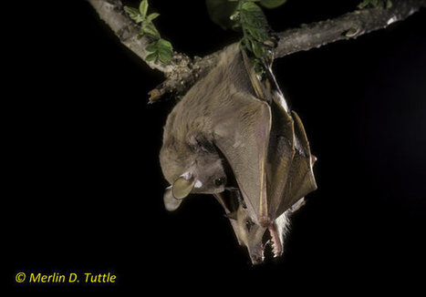 Halloween PSA: More Bat Species Appearing On Endangered List, And Here's Why ... - Huffington Post | Bat Biology and Ecology | Scoop.it