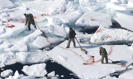 Canadian Seal slaughter and an annual quota of 400,000 | OUR OCEANS NEED US | Scoop.it