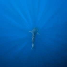 Whale shark diving deep by Tony Rath | Belize in Social Media | Scoop.it