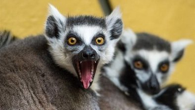 Tourism hope for threatened lemurs | Sustainable tourism | Scoop.it