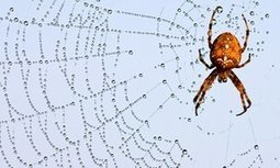 Spiders can 'tune' their webs to sound out plucky potential mates | Oceans and Wildlife | Scoop.it