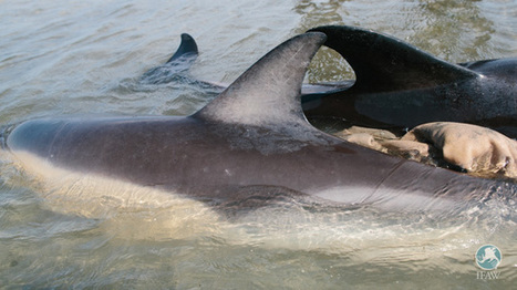 How and why unsupervised help for stranded animals can do more harm than good | Oceans and Wildlife | Scoop.it
