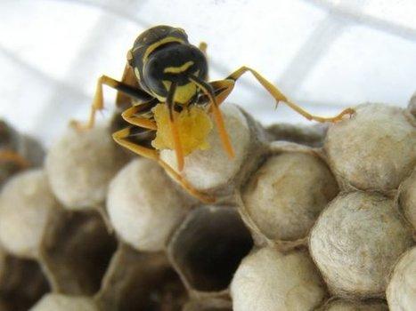Suède : Il tente d'avoir une relation sexuelle avec un nid de guêpes et décède | Les infos du Web | Scoop.it