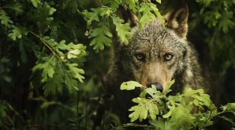 Who's afraid of the big, bad wolf?   GarryRogers NatCon News   Scoop.it