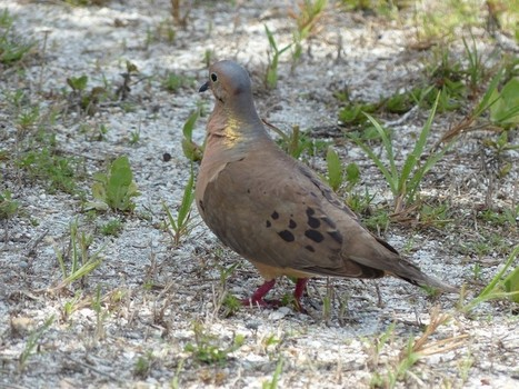 Photo d'oiseau : Tourterelle triste - Zenaida macroura - Tourterelle de la Caroline - Mourning dove | Fauna Free Pics - Public Domain - Photos gratuites d'animaux | Scoop.it