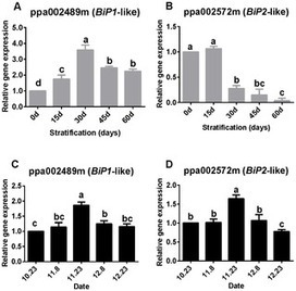 Roles of Endoplasmic Reticulum Stress and Unfolded Protein Response Associated Genes in Seed Stratification and Bud Endodormancy during Chilling Accumulation in Prunus persica | PlantBioInnovation | Scoop.it