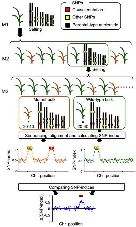 PLOS ONE: MutMap+: Genetic Mapping and Mutant Identification without Crossing in Rice (2013) | MutMap | Scoop.it