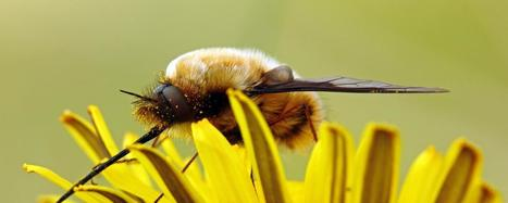 Parasitic bee mimics in your back garden | Wildlife and Environmental Conservation | Scoop.it