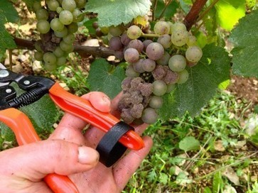 Chablis battles rot to secure 2013 harvest | Mornington peninsula | Scoop.it