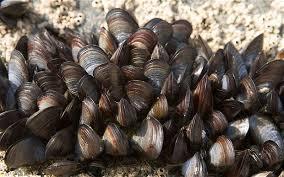 Partnership to explore mussel research | Aquaculture Directory | Mina Tani Semesta | Scoop.it