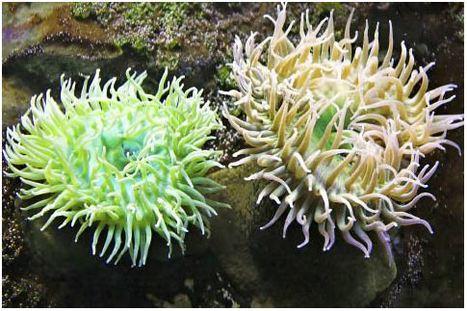 Une anémone de mer : les insecticides et les antidouleurs de demain | EntomoNews | Scoop.it