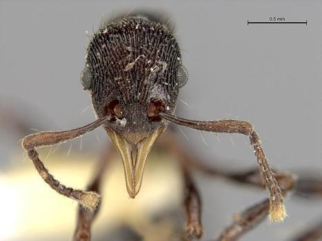 Équateur. Une nouvelle espèce de fourmi découverte dans l'estomac d'une grenouille | EntomoNews | Scoop.it