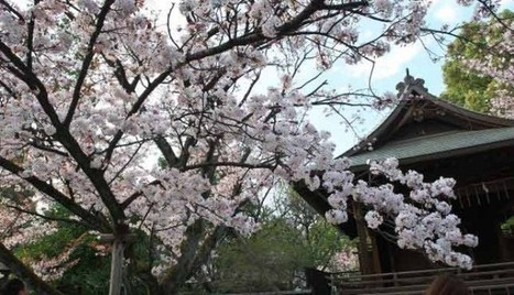 Beautiful Japanese Cherry Blossom In ueno Park Japan Tokyo Travel | asia holidays destination picture | Beauty building, park, and city in asia | Scoop.it