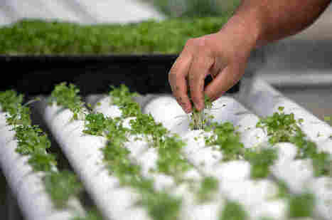 Some Growers Say Organic Label Will Be Watered Down If It Extends To Hydroponic | AP Human Geography | Scoop.it