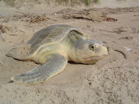 Sea Turtles Traveling In Toxic Waters | Travel | Scoop.it