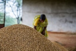 Indian Farmers Achieve Record Crop Yield without GMOs or Chemicals - Organic Connections | Organic Lifestyles | Scoop.it