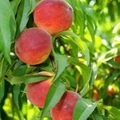U.S. breeders release new nectarine and peach varieties | Fruits & légumes à l'international | Scoop.it