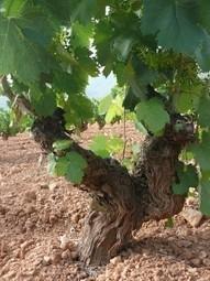 Monastrell: It's From Murcia | Wine in the World | Scoop.it