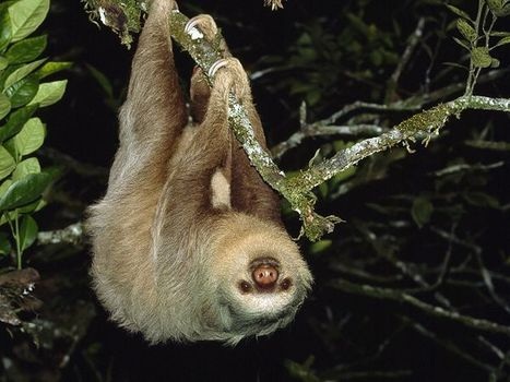 Sloth Facts and Pictures -- National Geographic Kids | Sloths | Scoop.it