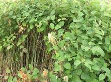 Zaai Japanse duizendknoop en val af   Planten en eten   Scoop.it