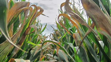 A Disease Cuts Corn Yields | The Barley Mow | Scoop.it