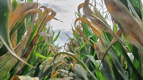 A Disease Cuts Corn Yields | The Barley Mow | Scoop.it