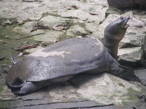 Dernier espoir pour son espèce, une tortue femelle inséminée artificiellement peut sauver les siens de l'extinction | Biodiversité & Relations Homme - Nature - Environnement : Un Scoop.it du Muséum de Toulouse | Scoop.it