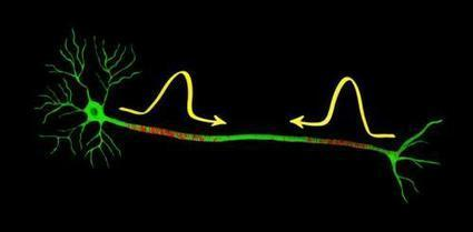 Nerve impulses can collide and but still continue unaffected   Amazing Science   Scoop.it