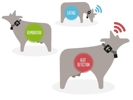The #Quantified Cattle: Dairy Cows now have #wearables to Tracking Their Monthly Cycle | Digital Transformation of Businesses | Scoop.it